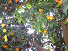 fruit_salad_tree[1]