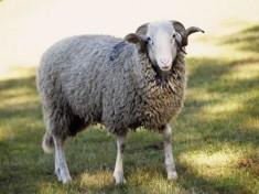 gavarni_mouton[1]